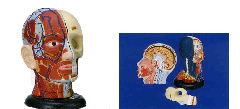 ART MEDICAL FIGURE : HEAD